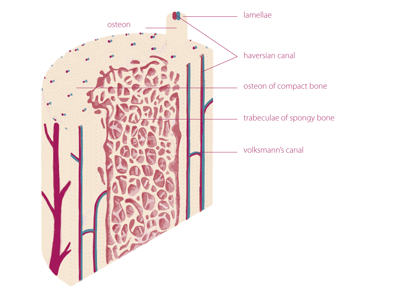 bone anatomy tobigendosteum and periosteum 1,4,5 the periosteum is a double layered membrane surrounds the external surface of the bone except for the joints surfaces 1 2